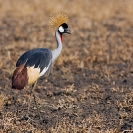 050_B17C.1189-Southern-Crowned-Crane-Balearica-regulorum
