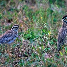 054_B19C.001-Three-banded-Courser-Rhinoptilus