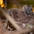 056_B21D.3741-African-Red-eyed-Dove-Nestling
