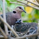 058_B21D.3985A-African-Red-eyed-Dove-with-nestling