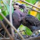 059_B21D.4020A-African-Red-eyed-Dove-feeding-nestling