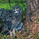 060_B24.33-Spotted-Eagle-Owl-Fledglings-on-Ground-Bubo-africanus