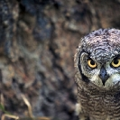 061_B24.39-Spotted-Eagle-Owl-Bubo-africanus