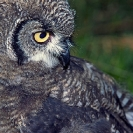 062_B24.48-Spotted-Eagle-Owl-fledgling-Bubo-africanus