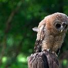 063_B24.1203-African-Wood-Owl-owlet-Strix-woodfordii