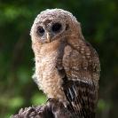 064_B24.1224-African-Wood-Owl-owlet-Strix-woodfordii