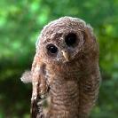 065_B24.1229V-African-Wood-Owl-owlet-Strix-woodfordii