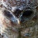 066_B24.1295-African-Wood-Owl-owlet-Strix-woodfordii