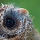 067_B24.1300-African-Wood-Owl-owlet-eyes-Strix-woodfordii