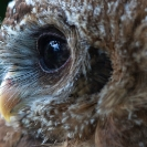 068_B24.1310-African-Wood-Owl-owleteye-+-reflection-close-up-Strix-woodfordii
