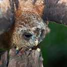 069_B24.1327-African-Wood-Owl-owlet-mantling-behaviour-Strix-woodfordii