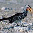 070_B29H.23-Southern-Yellow-billed-Hornbill-Tockus-leucomelus