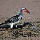 071_B29H.85-Red-billed-Hornbill-Tockus-erythrorhynchus