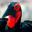 073_B29H.79-Ground-Hornbill-female
