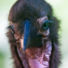 074_B29H.8310V-Southern-Ground-Hornbill-fledgling-Bucorvus-leadbeateri