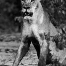 002_ML.515BW-Lioness-at-Alert-Hwange-Zimbabwe
