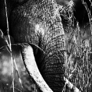 005_ME.1006VBWA-African-Elephant-Bull-close-up-Luangwa-Valley-Zambia