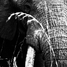 006_ME.1001VBWC-African-Elephant-Bull-close-up-Luangwa-Valley-Zambia