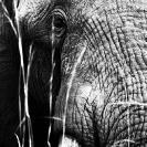 007_ME.0989VBWA-African-Elephant-Bull-Luangwa-Valley-Zambia