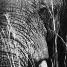 008_ME.0993VBWA-African-Elephant-Bull-Luangwa-Valley-Zambia