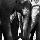 010_ME.0931BWB-African-Elephants-Greeting-Luangwa-Valley-Zambia