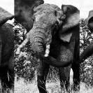 011_ME.093537VBW-Triptych-Elephant-Bull-Luangwa-Valley-Zambia-