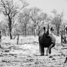 012_MR.25BWA-EXTINCT-Black-Rhino-charge-Luangwa-Valley-Zambia