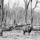 013_MR.BW.044-34A-EXTINCT-Luangwa-Valley-Black-Rhino-Zambia