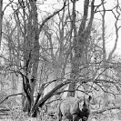 014_MR.BW.044-30AV-EXTINCT-Luangwa-Valley-Black-Rhino-Zambia