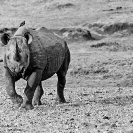 015_MR.BW.082-36-EXTINCT-Luangwa-Valley-Black-Rhino-Zambia