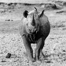 016_MR.BW.082-37V-EXTINCT-Luangwa-Valley-Black-Rhino-Zambia