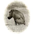 019_MPiW.BW.054-25A-'Victorian'-Warthog-Luangwa-Valley-Zambia