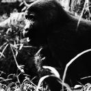 021_MApG.05BWA-Highland-Mountain-Gorilla-Bwindi-Uganda