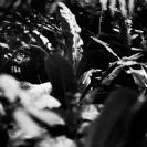 023_MApG.13BW-Highland-Mountain-Gorilla-Bwindi-Uganda