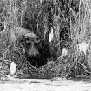 028_MH_4150BW_Hippo-Zambezi-River