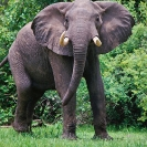 001_ME.153-Bull-Elephant-Luangwa-Valley-Zambia