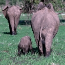 002_ME.186-African-Elephant-&-Calf-in-Mud-Luangwa-Valley-Zambia