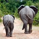 004_ME.0904-African-Elephants-walking-rear-view-Luangwa-Valley-Zambia