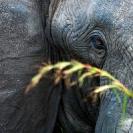 007_ME.0998VA-African-Elephant-eye-Luangwa-Valley-Zambia