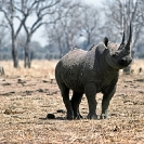 010_MR.500--Extinct-Black-Rhino-Luangwa-Valley