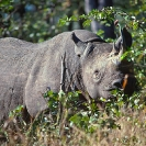 011_MR.501--Extinct-Black-Rhino-Luangwa-Valley