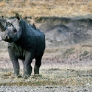 012_MR.502-EXTINCT-Luangwa-Valley-Black-Rhino-Zambia