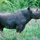 013_MR.503-EXTINCT-Luangwa-Valley-Black-Rhino-[with-fight-wounds]-Zambia