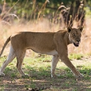 015_ML.1120-African-Lioness-Walking-Eyes-Luangwa-Valley-Zambia