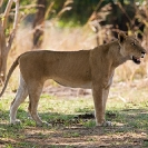 016_ML.1122-African-Lioness-Eyes-Luangwa-Valley-Zambia