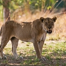 017_ML.1126-Lioness-Luangwa-Valley-Zambia