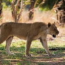 018_ML.1129-African-Lioness-Walking-Luangwa-Valley-Zambia
