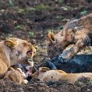 019_ML.11088-Lioness-&-cub-at-kill-Luangwa-Valley-Zambia