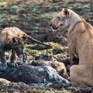 020_ML.11089-Lioness-&-Cub-at-Kill-Luangwa-Valley-Zambia