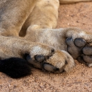 021_ML.0731-African-Lion-Male-rear-paws-&-tail-Luangwa-Valley-Zambia